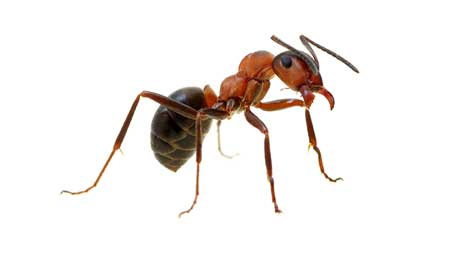 Large ant
